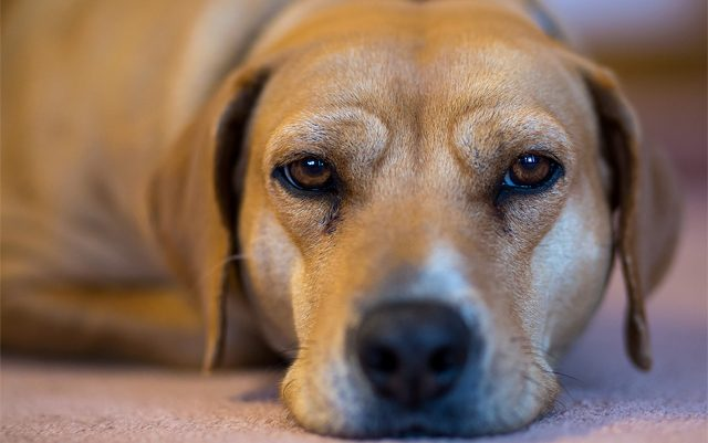how-CBD-oil-can-help-relieve-your-dogs-chronic-pain-dog-dream-cbd