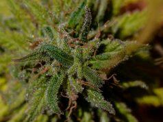 new-poll-shows-popularity-of-marijuana-legalization