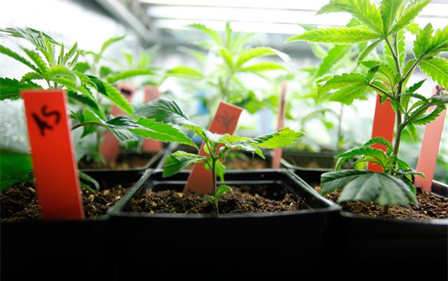 basic-tips-for-growing-your-own-weed
