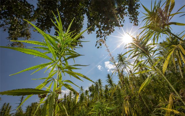 minnesota-hemp-farmer-faces-charges-for-alleged-high-THC-count
