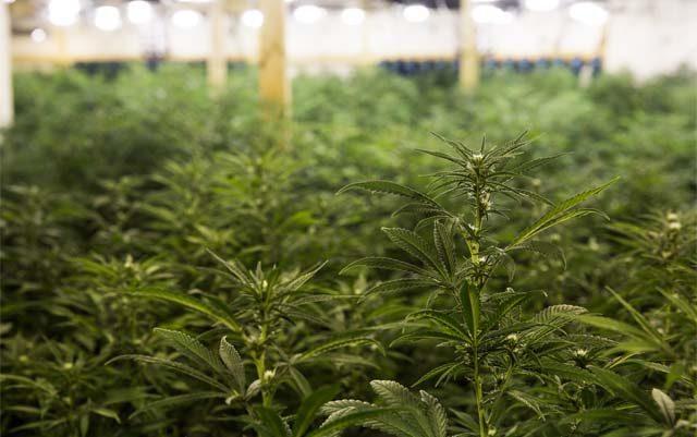 does-legalization-fuel-the-black-market