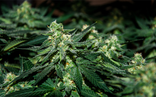 cbd-with-thc-benefits-the-high-note