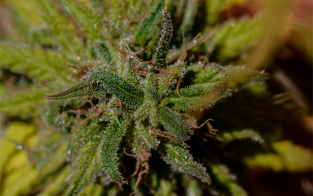photo of Strain Review: The Brotherhood image